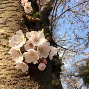 桜の季節になりました。。。-006